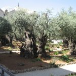 How often watering a centennial olive tree