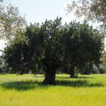When to trim millenary olive trees?