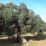 How to protect centennial olive trees from climate change