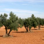 The cultivation of olive trees outside the Mediterranean