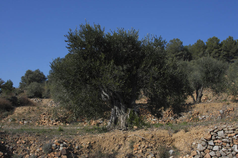 Centennial olive trees