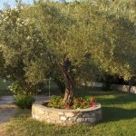 Everything you need to know about millenary olive trees